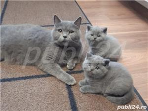 British Shorthair Bleu,de calitate,Felisă!!! - imagine 10