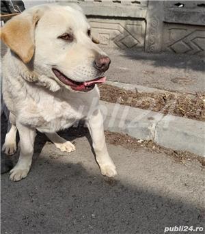 Labrador auriu - imagine 1
