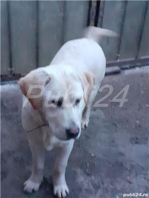 Labrador auriu - imagine 2