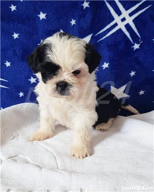 Shih Tzu Mini Toy Pedigree  - imagine 1