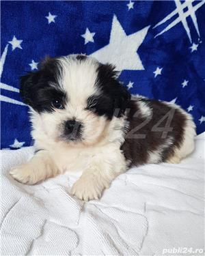 Shih Tzu Mini Toy Pedigree  - imagine 8