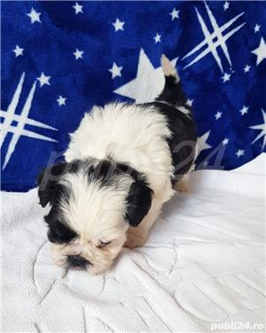 Shih Tzu Mini Toy Pedigree  - imagine 6
