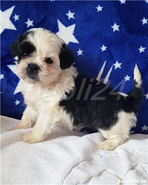 Shih Tzu Mini Toy Pedigree  - imagine 5