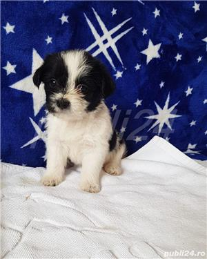 Shih Tzu Mini Toy Pedigree  - imagine 4