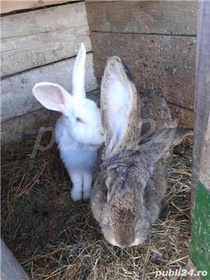 vind 2 iepuri sau fac si schimb cu gaini iepuroica este mare - imagine 3