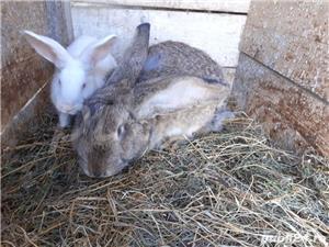 vind 2 iepuri sau fac si schimb cu gaini iepuroica este mare - imagine 2