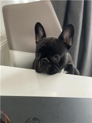 Bulldog francez mascul monta  - imagine 1