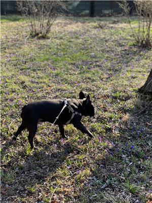 Bulldog francez mascul monta  - imagine 3
