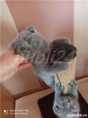 scottish fold blue - imagine 2