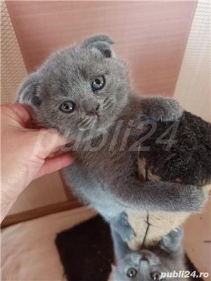 scottish fold blue - imagine 3