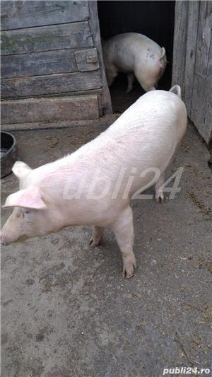 Vând porci - imagine 2