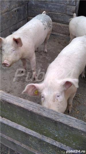 Vând porci - imagine 5