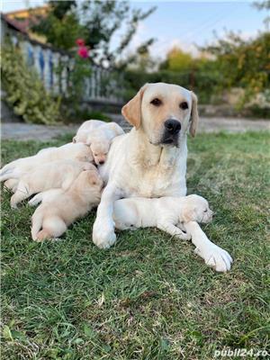 Labradori Golden  - imagine 8