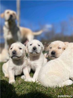 Labradori Golden  - imagine 3