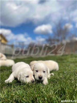 Labradori Golden  - imagine 5