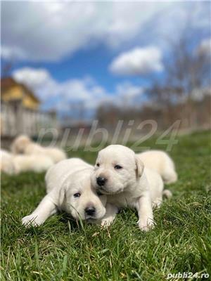 Labradori Golden  - imagine 1