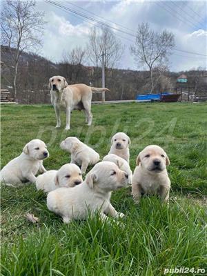 Labradori Golden  - imagine 7