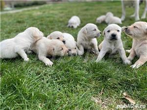 Labradori Golden  - imagine 2