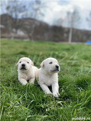 Labradori Golden  - imagine 6