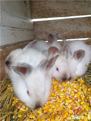 vand iepuri californieni  - imagine 2