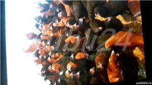 puicuțe ouatoare - imagine 2