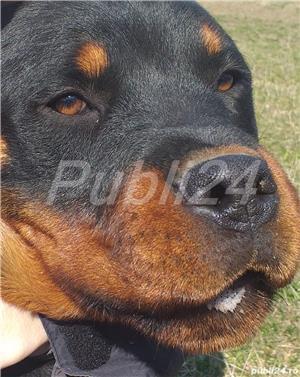 Monta mascul Rottweiler  - imagine 1