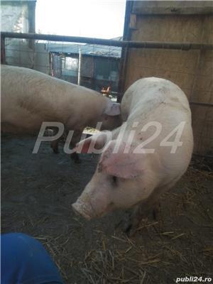 Porci 90-100kg - imagine 5