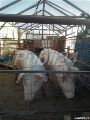 Porci 90-100kg - imagine 3