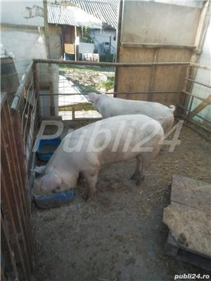 Porci 90-100kg - imagine 7