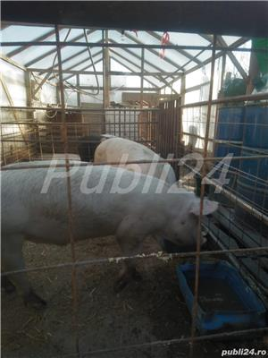 Porci 90-100kg - imagine 4