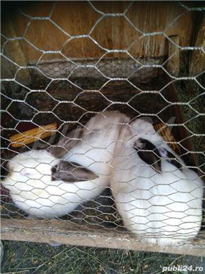 Vând iepuri de rasă și metiși - imagine 8