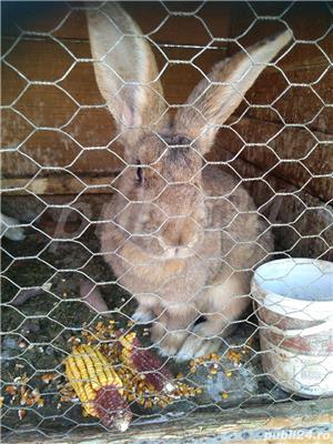 Vând iepuri de rasă și metiși - imagine 9