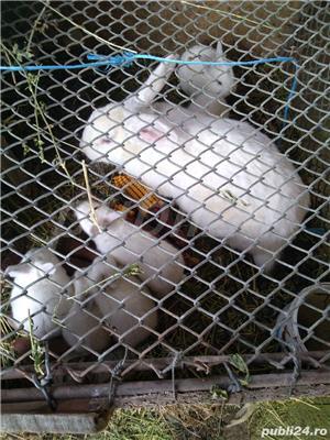 Vând iepuri de rasă și metiși - imagine 10