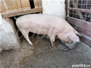 Porci rasa de carne PIC - imagine 5