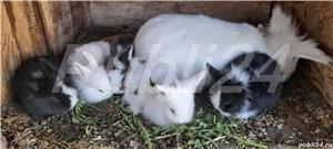 Vând iepuri pt Paște! - imagine 3