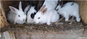 Vând iepuri pt Paște! - imagine 6