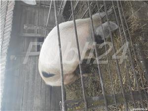 Porc de vanzare - imagine 1