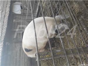 Porc de vanzare - imagine 2