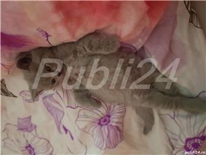 De vanzare pui british shorthair blue - imagine 3