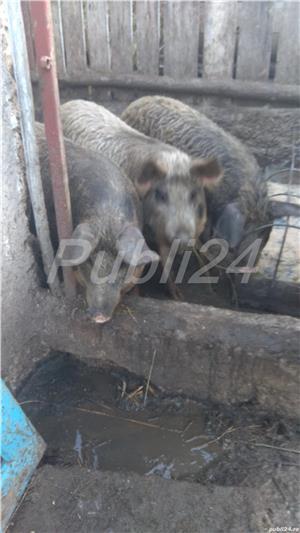 Vând porc mangalita - imagine 3