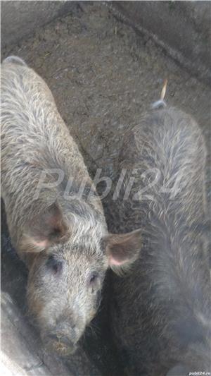 Vând porc mangalita - imagine 4