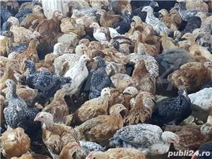 Pui albi de carne și rasa mixta  - imagine 6