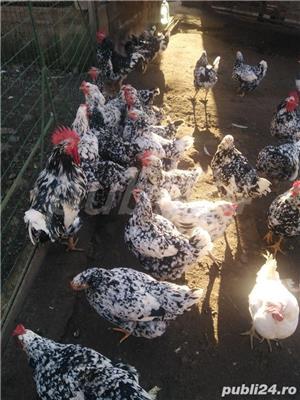 Vând ouă - imagine 4