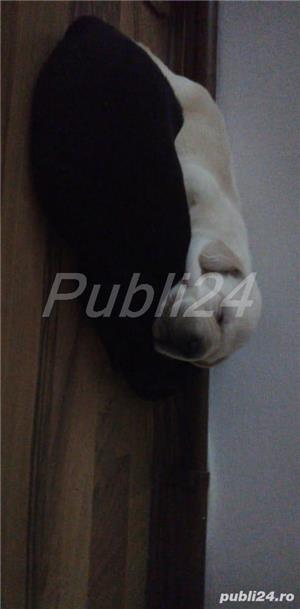 Labradori din parinti  cu pedigree - imagine 6
