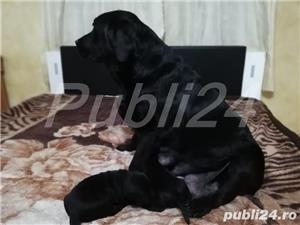 Labradori din parinti  cu pedigree - imagine 3