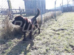 Labradori din parinti  cu pedigree - imagine 8
