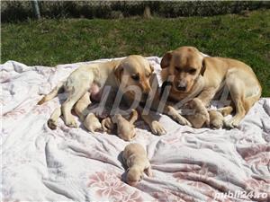 Labradori din parinti  cu pedigree - imagine 9