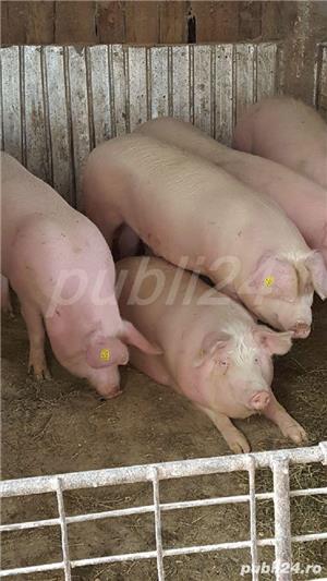 Porci pt sacrificat și purcele pt reproducție 9lei/kg - imagine 8