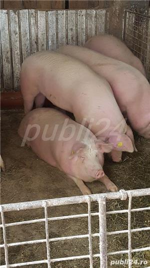 Porci pt sacrificat și purcele pt reproducție 9lei/kg - imagine 9