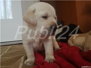 Labradori din parinti  cu pedigree - imagine 1